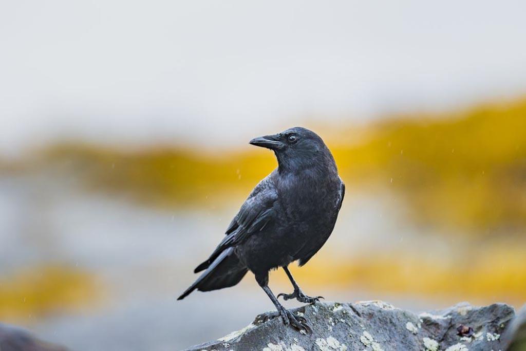 Ворона на кладбище