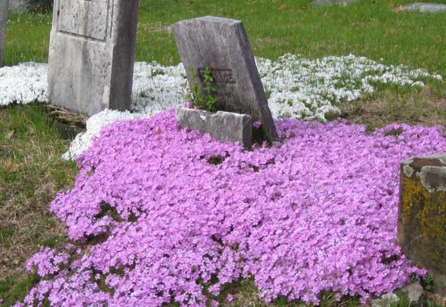 Флоксы на могиле