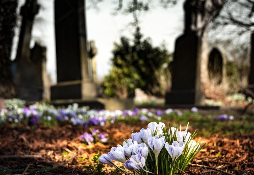 Цветы крокусы на погосте