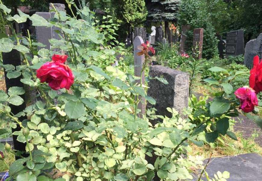 Шиповник на могиле